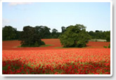 Poppy fields of Hatchlands from New Road